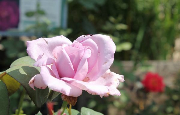 Rose 'Blue Girl'