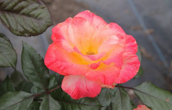 Rose 'Chihuly'