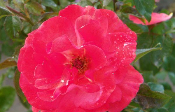 Rose 'Colorific'