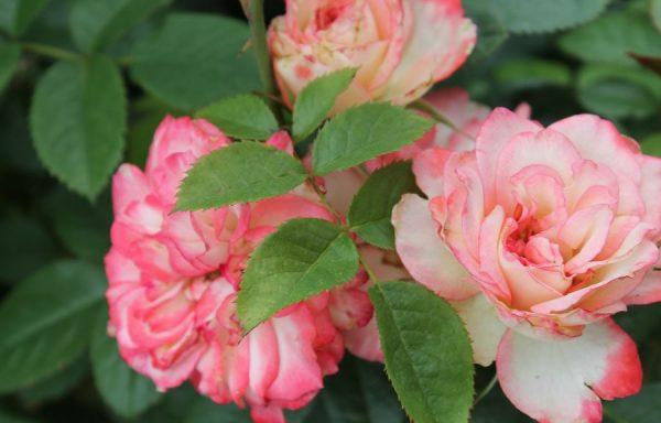 Rose 'Coretta Scott King'