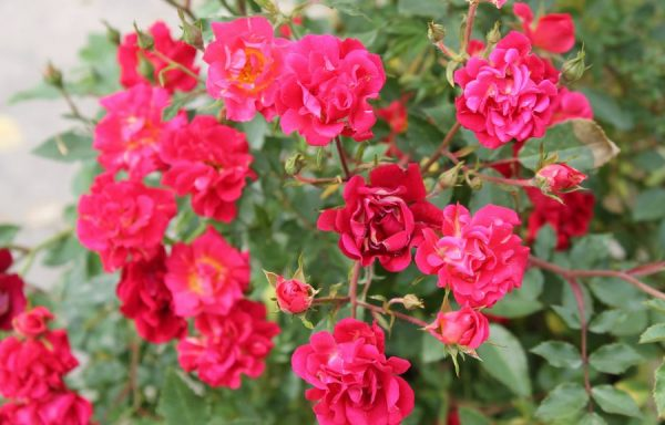 Rose, Drift® 'Red'