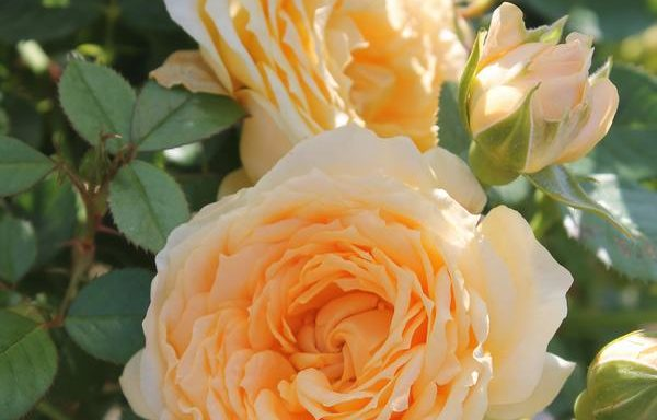 Rose 'Edith's Darling'®