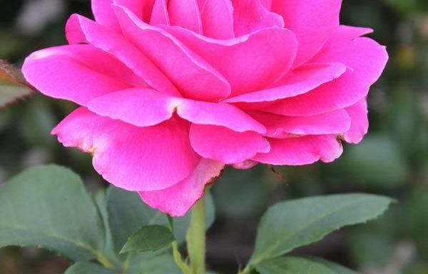 Rose 'Grande Dame'™
