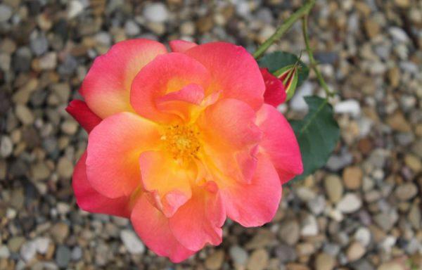 Rose 'Joseph's Coat'