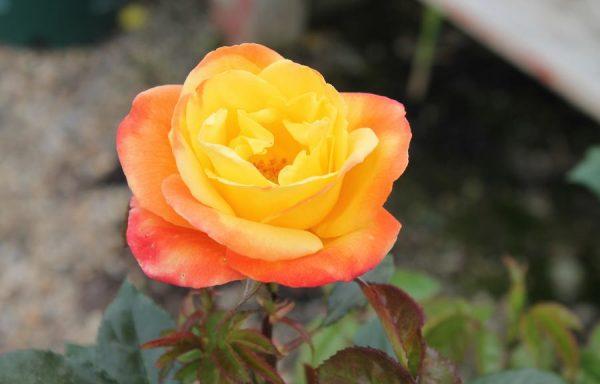 Rose 'Judy Garland'