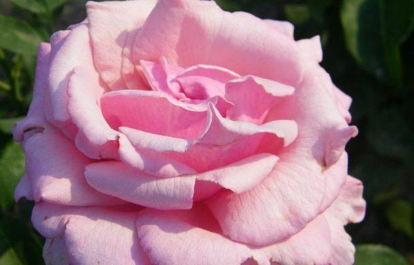 Rose 'Memorial Day'
