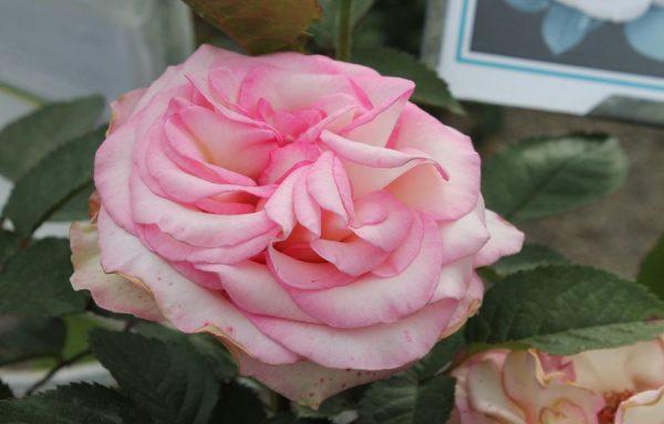 Rose 'Moonstone'™