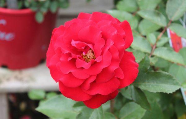 Rose 'Oh My'
