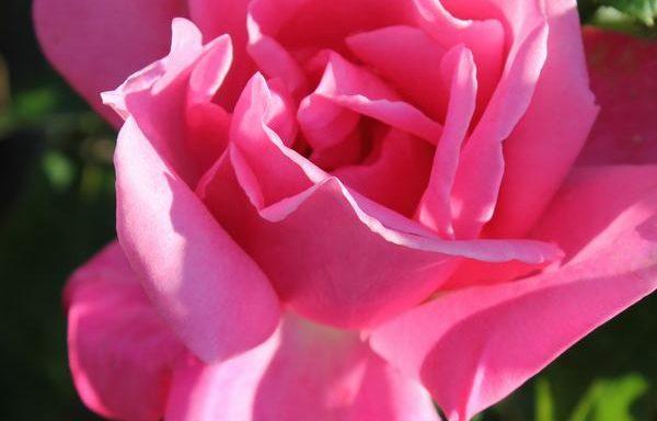 Rose 'Perfume Delight'