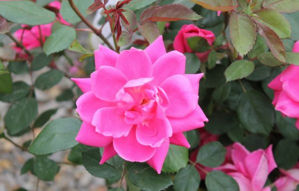 Rose, Knock Out® 'Pink Double'