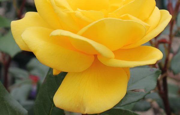 Rose 'Radiant Perfume'