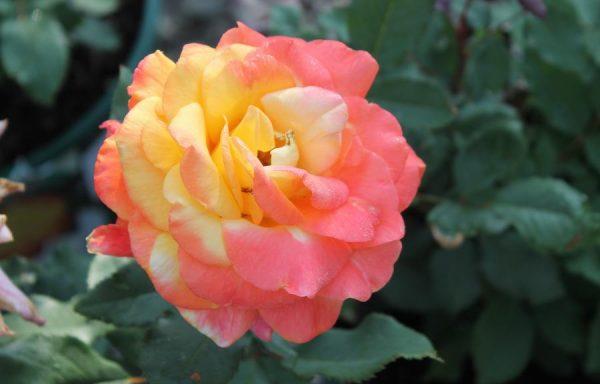 Rose 'Rio Samba'