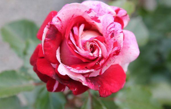 Rose 'Rock & Roll'