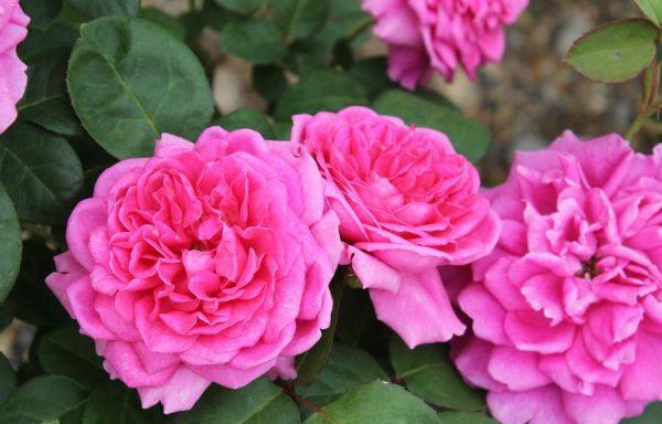 Rose 'Sophy's Rose'