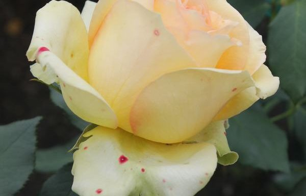 Rose 'St. Patrick'