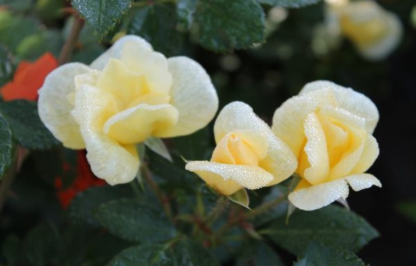 Rose, Knock Out® 'Sunny'