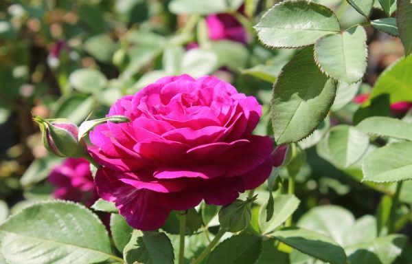 Rose 'Twilight Zone'