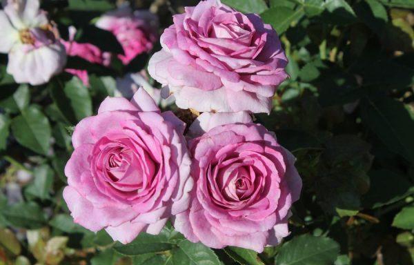 Rose 'Violets Pride'™