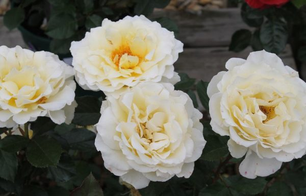 Rose 'White Licorice'