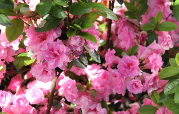 Azalea, Evergreen 'Rosebud'