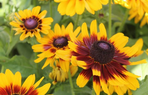 Black Eyed Susan 'Denver Daisy'