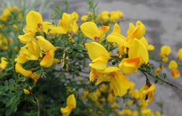 Broom, Scotch 'Madame Butterfly'