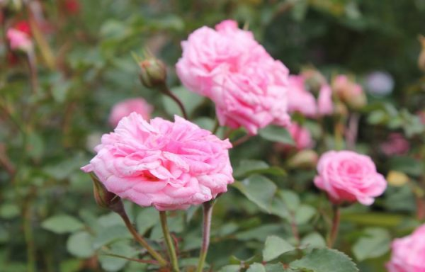 Rose, Drift® 'Sweet'