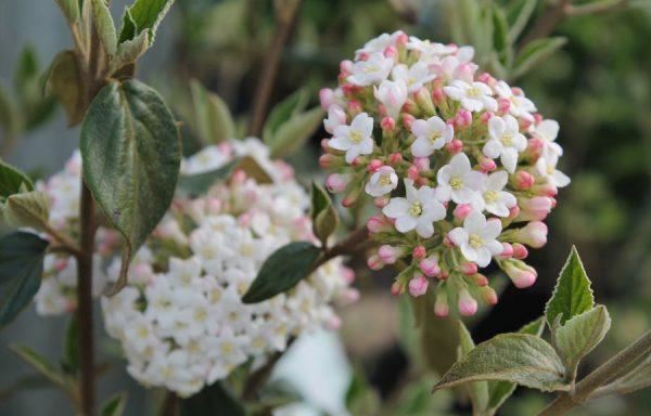 Viburnum 'Fragrant Burkwood'
