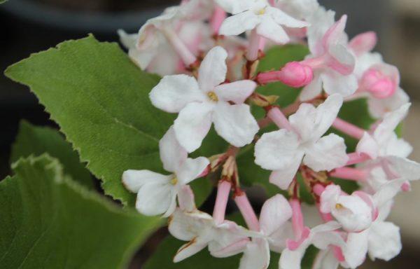 Viburnum 'Fragrant Juddi'