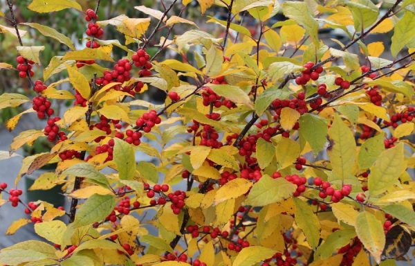 Winterberry 'Winter Red'