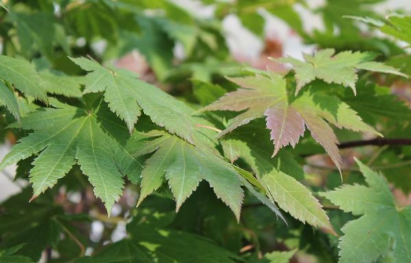 Maple, Full Moon 'Grape Leaf'