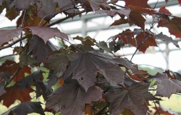 Maple, Norway 'Royal Red'