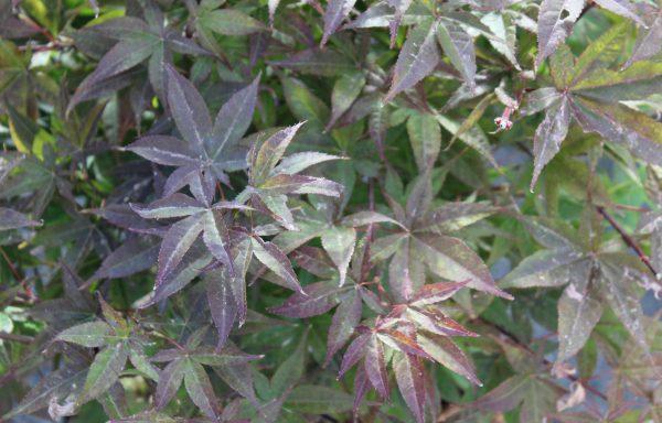 Maple, Japanese 'Rhode Island Red'