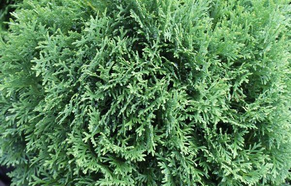 Arborvitae 'Danica'