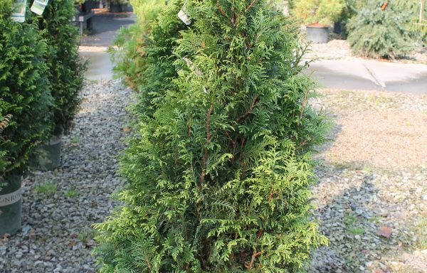 Arborvitae 'Tiny Tower'