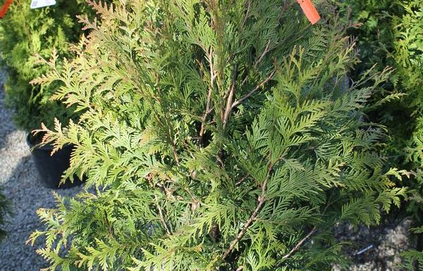Arborvitae, Western 'Green Giant'