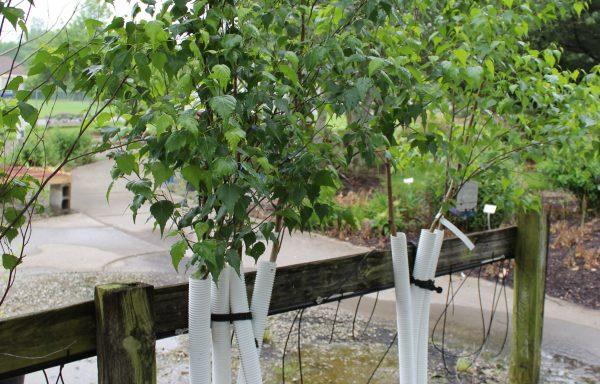 Birch 'Whitespire'