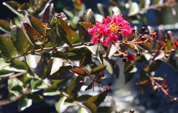 Crape Myrtle 'Double Feature'