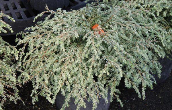 Hemlock, Canadian 'Moon Frost'