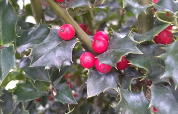 Holly 'Red Beauty'®