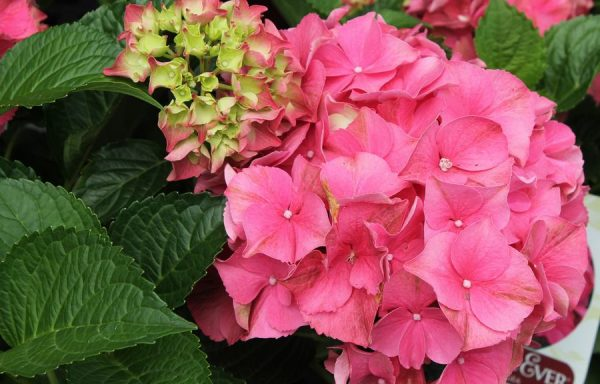 Hydrangea, Forever & Ever® 'Red'