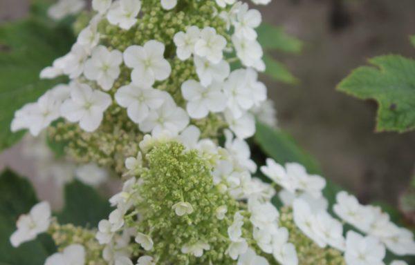 Hydrangea, Oakleaf 'Ruby Slippers'