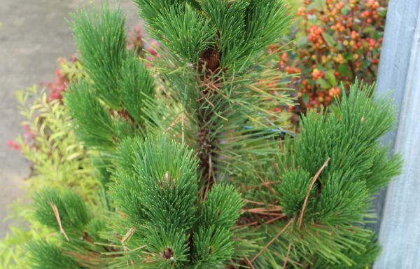 Pine, Japanese Black 'Thunderhead'