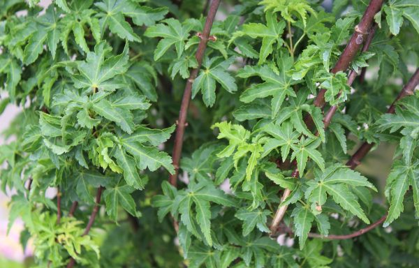 Maple, Japanese 'Shishigashira'