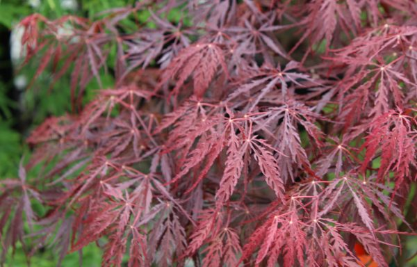 Maple, Japanese 'Tamukeyama'