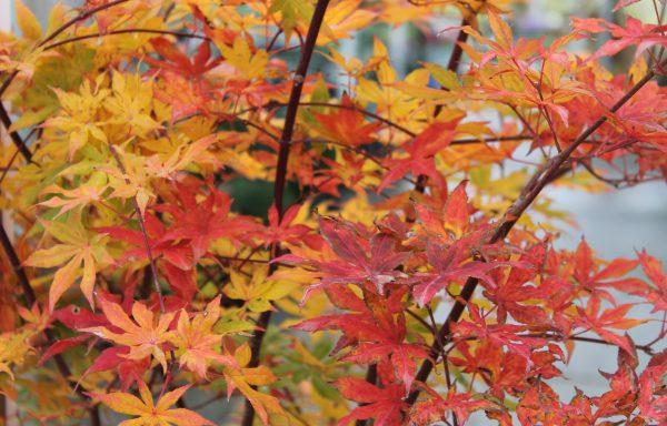 Maple, Japanese 'Ukigumo'