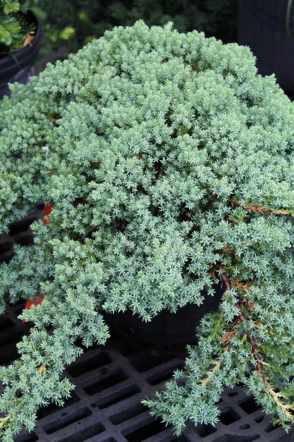 juniper dwarf japanese garden - Wilsons Garden Center