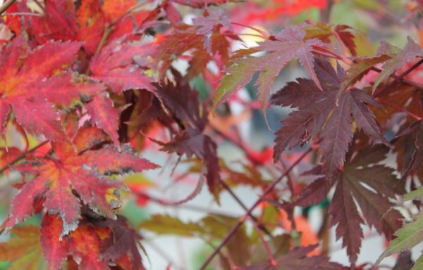 Maple 'North Wind'