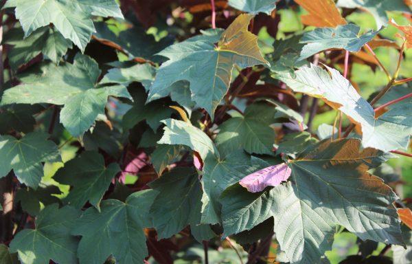 Maple, Sycamore 'Regal Petticoat'