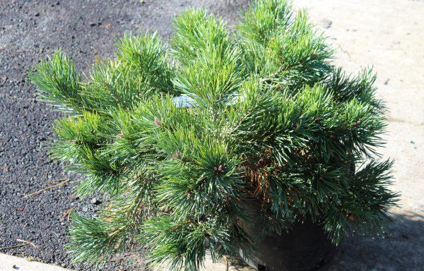 Pine, Scotch 'Albyn Prostrate'